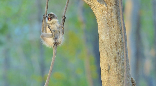 A swinging time. © Thomas Vijayan, Natural History Museum, Chavonnes Battery Museum