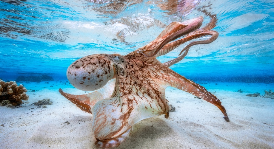 UPY2017, Dancing Octopus, Gabriel Barathieu, Underwater Photographer of the Year 2017